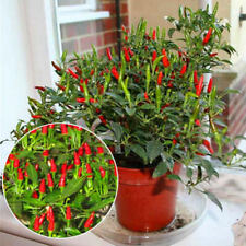 50pcs Thai Sun Hot Pepper Capsicum Annuum Ornamental Chili Seeds Bonsai Plant
