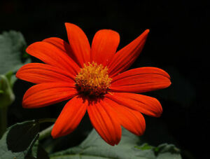 6x PLUG PLANT TITHONIA 'TORCH' MEXICAN SUNFLOWER HOT SUMMER COLOUR FROST TENDER