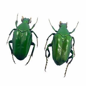 (Pseudochalcothea planiuscula) (PAIR) Scarab Beetles Insect Collector Specimen