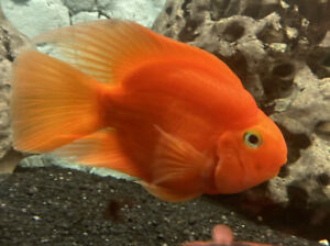 Large Proven Egg Layer Parrot Fish