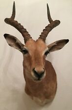 Impala Präparat aus Namibia - Trophäe - Taxidermy - Jagd