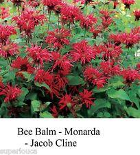 RED BEE BALM MONARDA JACOB CLINE BERGAMOT 20+ Seed SQUARE STEMS CANADA EASY  S/H
