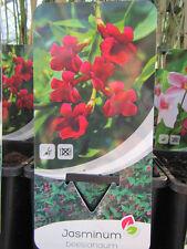 Jasminum beesianum - Roter Jasmin - Pflanze 20-40cm bis -15°C Winterhart