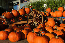 50 SPOOKIE PUMPKIN aka Deep Sugar Pie Pumpkin Cucurbita Pepo Vegetable Seeds