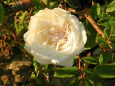 1 PLANT ROSA PARK YELLOW rosa crema rampicante Tea-scented China Rose rampicante