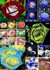 Rose Seeds Various Colors Flower Plants for Garden Balcony Planting UK STOCK