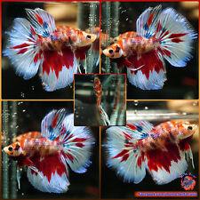 Live Betta Fish Male Fancy Multicolored Koi Galaxy Halfmoon HM #701