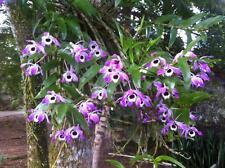 Orchid Plants dendrobium Nobile Thai species