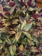 Zebrina Wandering Jew 12 Cuttings