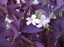 10 x Oxalis triangularis purpurea ampoules. Free p&p.