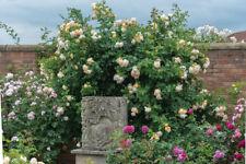 WOLLERTON OLD HALL - 5.5lt Potted David Austin Climbing & Shrub Garden Rose