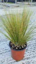 Graminacee - Stipa Tenuissima vaso 17 (OFFERTA 25 piante)