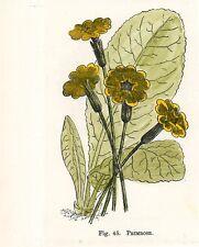 Stampa antica fiori PRIMULA vulgaris botanica 1896 Old Print Flowers