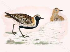 Golden Plover - Game Bird ART PRINT - FREE UK P&P