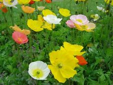 Poppy- Iceland Mix- 500 Seeds