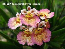 ORCHIDEE    TOLUMNIA   JAIRAK  FLYER  CORONA   BLÜHFÄHIG / BLÜHSTARK   7-12