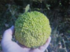 OSAGE ORANGE TREE SEEDS * HEDGE-APPLE * HORSE-APPLE* REPELS INSECTS*
