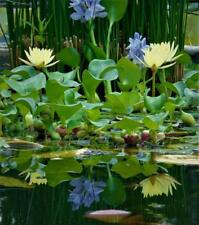 12 Live Water Hyacinths from JOHN'S POND PLANTS