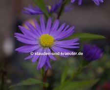 Aster novi-belgii /'Strawberry /& Cream/' Herbstaster Glattblattaster