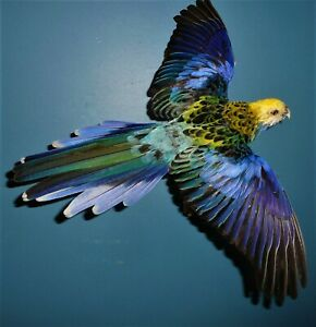 Pale-headed rosella mounted flying Taxidermy