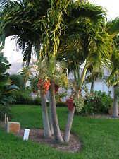 * 10 seeds*Veitchia Merrillii*Christmas Palm*Manila Palm*free shipping*