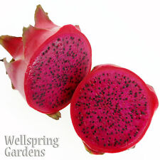 Dragon Fruit Hylocereus guatemalensis Live Plant American Beauty Red