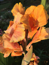 Pink Indian Shot Canna Lily TROPICAL SUNRISE Plant Rhizome Plant Bulb Foliage