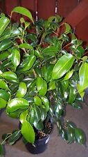 Ficus Benjamina -  1 to 2 Feet Tall - Ship in 1 Gal Pot