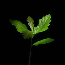 Truffle tree English Oak (tree inoculated with the Black Summer Truffle)