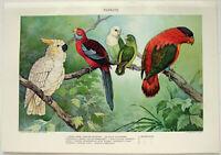 Parrots - Original 1902 Dated Stone Chromo-lithograph by Julius Bien Antique