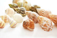 15 Hermit Crab Shells Assorted Natural Seashells Small to Medium Beautiful Set