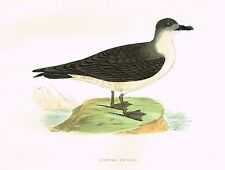 "Morris's Sea Birds - Hand Colored Lithograph - ""CAPPED PETREL"" - 1857"