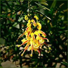 10 Grevillea Gold Rush Native Garden Plants Bird Attracting Colour