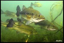 """Realfish Inland Series: Large-Mouth Bass """" Fish Mat Floor Mat Doormat 24x36"""
