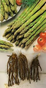 1-36 ASPARAGUS GIJNLIM CROWNS BARE ROOT PERENNIAL GRADE 1 COMMERCIAL QUALITY