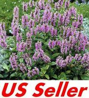 Nepeta Cataria Seeds Catnip Catswort Catmint organic seeds non gmo Ukraine 0.1 g