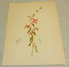 1901 Antique COLOR Prang Print/CLARKIA ELEGANS/Elegant Clarkia Flower