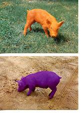 Unusual Orange & Purple Colored Pig Animal-1982 Modern Postcard Lot of 2