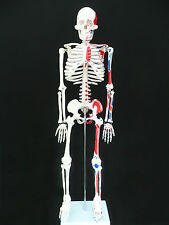 Human Skeleton with Muscle Insertion & Origin Anatomical Model - Medical Anatomy