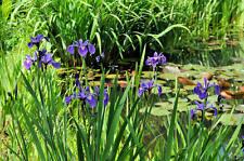 Iris versicolor bleu  blue   plante bassin vivace