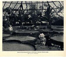 Gartenausstellung in Düsseldorf Blühende Victoria regia mit sitzendes Kind 1904