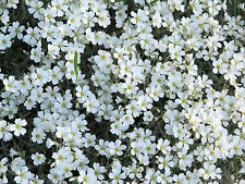New listing Snow In Summer Flower Seeds
