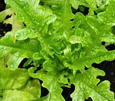 Lettuce - Green Oak Leaf - 2000 Seeds - Lactuca sativa