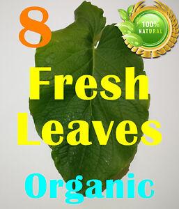 Hierba Santa Hoja Santa -  8 Fresh Leaves Natural Organic Root Beer Plant Leaf !