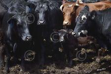 COW ART PRINT - Bovine Selfie by Barry Hart Western Farm Ranch Calf Poster 11x14
