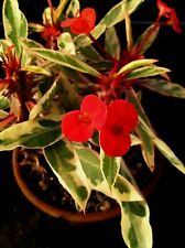 "EUPHORBIA MILII SPLENDENS- CROWN OF THORNS  'PEPPERMINT CANDY' -  2 1/4"" POT"