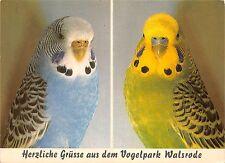 Br43919 Wellensittiche perroquet parot birds oisseaux animaux animals
