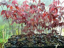Acero Palmato Giapponese Acer Palmatum Astropurpureum Bonsai
