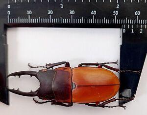 Prosopocoilus tragulus assimilis 54mm from Irianjaya Indonesia