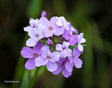 Nachtviole Hesperis matronalis Blume Samen VERSANDKOSTENFREI !!!